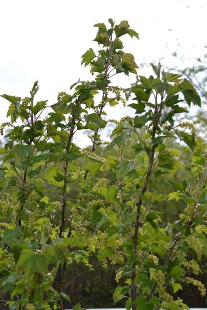 Unsere Beeren wachsen schon